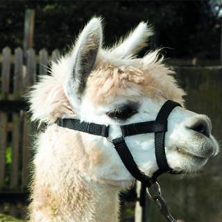 Bainbridge Halter for Alpacas